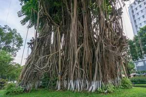 Banyan Bäume im Ly Tu Trong Park in Ho Chi Minh City