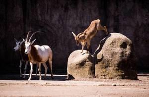 Barbary sheep jumping off a rock
