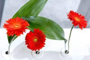 Barberton daisy - Gerbera jamesonii