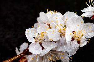 Beautiful apricot flowers on black background (Flip 2019)