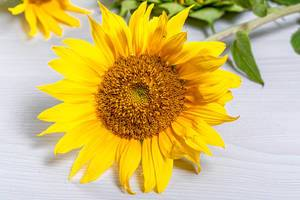 Beautiful blooming sunflower with yellow petals
