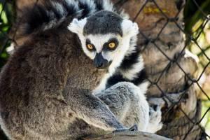 Beautiful lemur looking back (Flip 2019)
