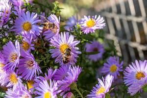 Bees pollinate purple flowers