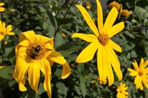 Biene auf einer Jerusalem Artischocke / Topinambur