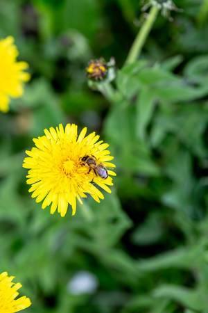 Biene bestäubt eine Löwenzahnblume im Garten