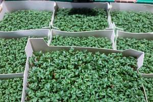 Bio Gartenkresse aus Deutschland bei REWE