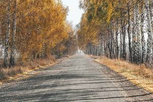 Birch trees with yellow leaves. Autumn road