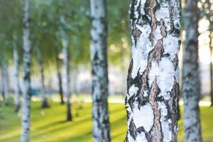 Birken in einem Park - Bokeh
