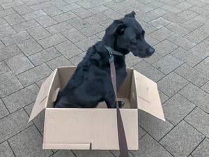 "Black dog in a paper box for ""moving with a dog"" concept"
