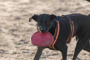 Black dog on the beach holds red frisbee in his mouth