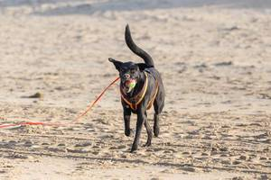 Black dog with tennis ball in muzzle runs over sandy beach