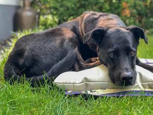Black Labrador lying down pillow and blanket in the garden