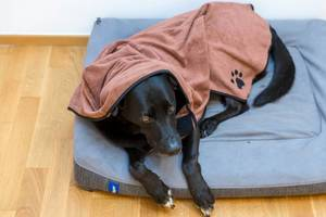 Black Labrador lying on dog bed and wearing microfiber dog bathrobe