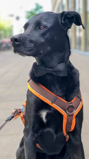 Black Labrador on a harness leash