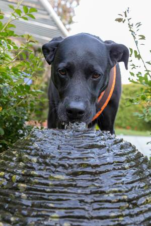 Black Labrador retriever drinks at a small fountain to cool off