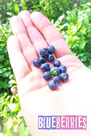 Blaubeeren (Blue Berries)