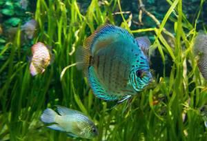 Blauer Diskusfisch in reich bepflanztem Aquarium im Budapester Tropicarium
