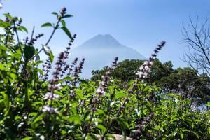Blick auf den Vulkan Volcán de Agua hinter lilafarbenen Blumen