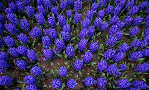 Blue flowers in Keukenhof garden in Amsterdam