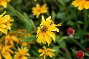 Blühende Blumen im Garten: gelbe Margeriten / Gänseblümchen