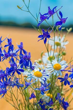Blumenstrauße mit den Wildblumen Rittersporn und Gänseblümchen