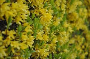 Blütenstrauch mit gelben Blumen