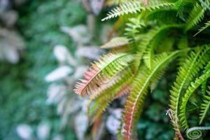 Bokeh Aufnahme von grün-roten Farn-Blättern