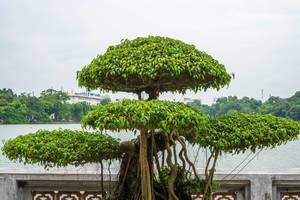 Bonsai Tree on Hoan Kiem Lake in Hanoi