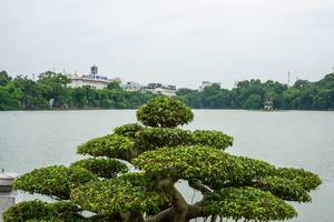 Bonsai Tree with Turle Tower in the Background in Hanoi