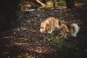 Border Collie auf Laub bedecktem Waldboden