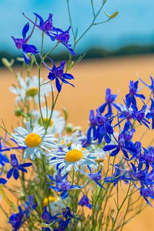Bouquet of field flowers of daisies and Larkspur field (Flip 2019)