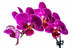 Branch of flowers of an Orchid bright purple color