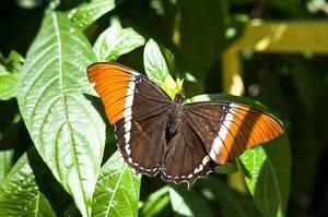 Braun-orangefarbener Schmetterling auf einem Blatt