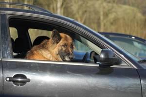 Brauner Hund sitzt auf Beifahrersitz und schaut aus dem geöffneten Fenster