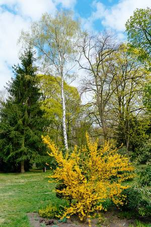 Bright yellow tree next to others in a park in Spring (Flip 2019)