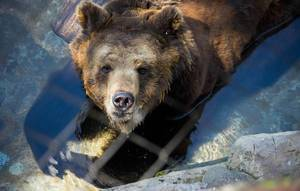 Brown bear behind metal mesh