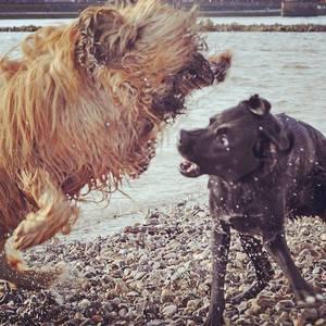 Büffel vs. Hund #dog #fun #rhein #beason