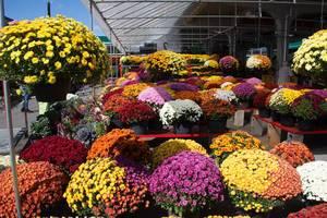 Bunte Herbstblumen werden auf dem Markt verkauft