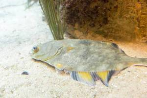 Butter sole (Isopsetta isolepis) at Shedd Aquarium