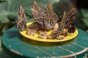 Butterflies sucking banana slices dry