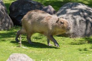 Capybara - Hydrochoerus hydrochaeris