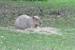 Capybara im Kölner Zoo