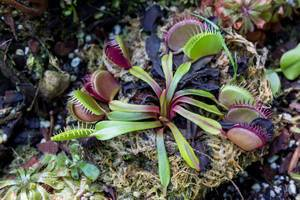 Carnivorous Plants in Cloud Forest