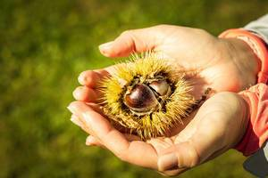 Chestnuts in hand