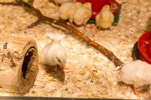 Chicks at the Lincoln Park Zoo (Farm Zoo) in Chicago
