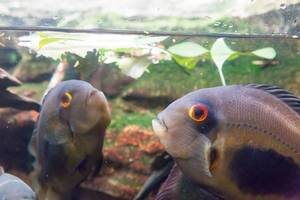 Cichlid at Shedd Aquarium