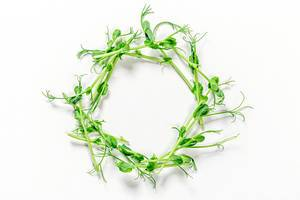 Circle of micro-green peas on a white background. The view from the top
