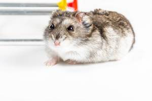 Close-up, a dwarf hamster with black eyes on a white background