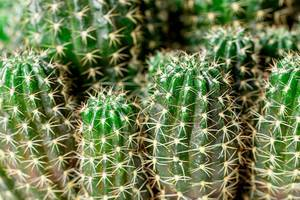 Close-up bush of green cactus with thorns (Flip 2020)