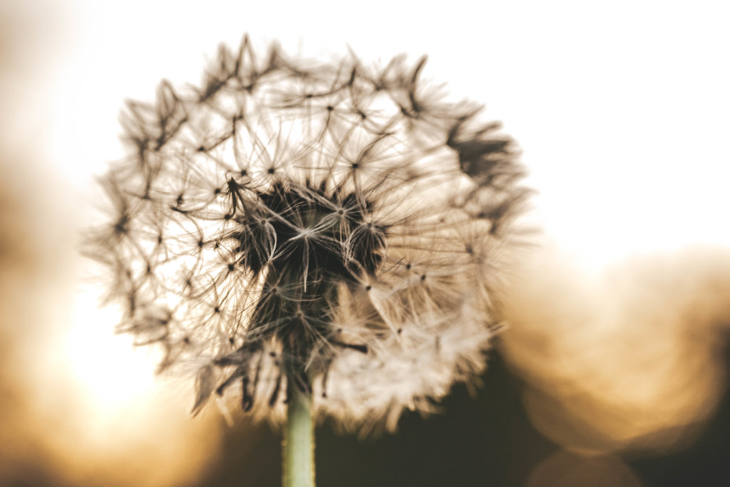 Close-up of a dandelion on a blurred bokeh background of a sunset